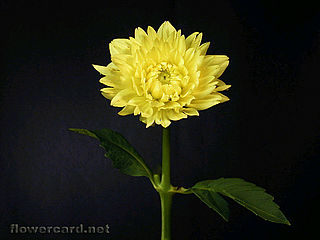 download Dahlias Screensaver