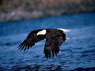 download Bald Eagle Scenic Reflections Screensaver