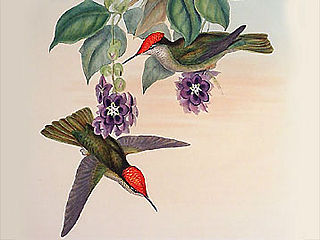 download John Gould Hummingbirds Screensaver