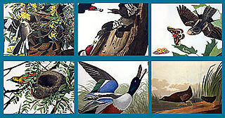 download Audubon Close Up Nesting Birds Screensaver