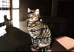 download Bengal Cat V2 Screensaver