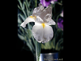 download Irises Screensaver