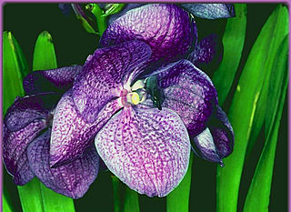 download Orchids by Altix Screensaver